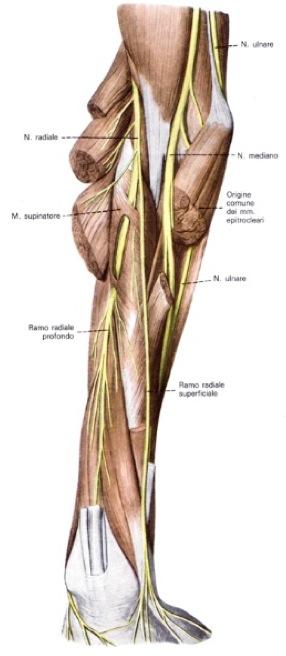 muscoli della gamba